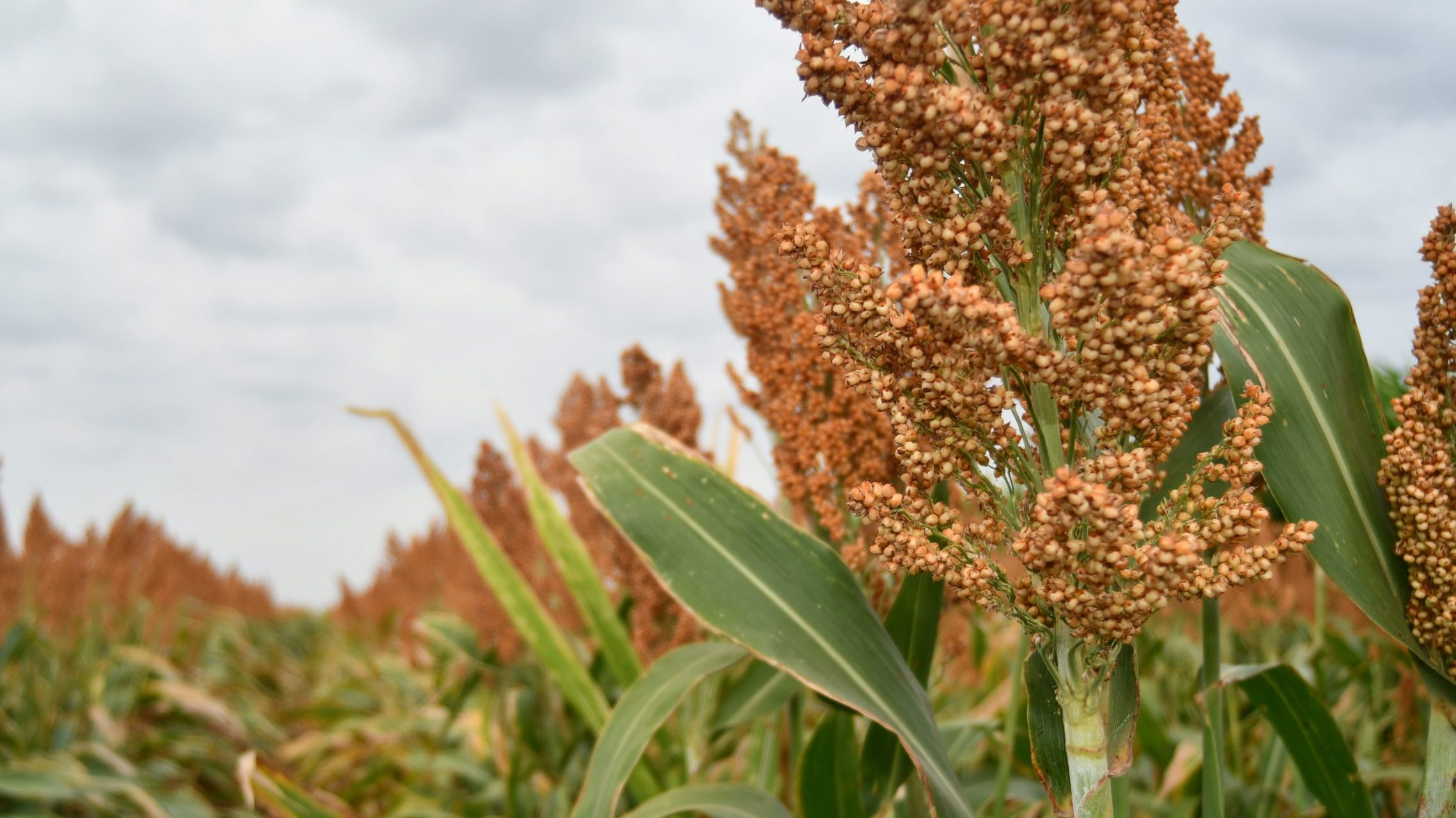 Growing Sorghum
