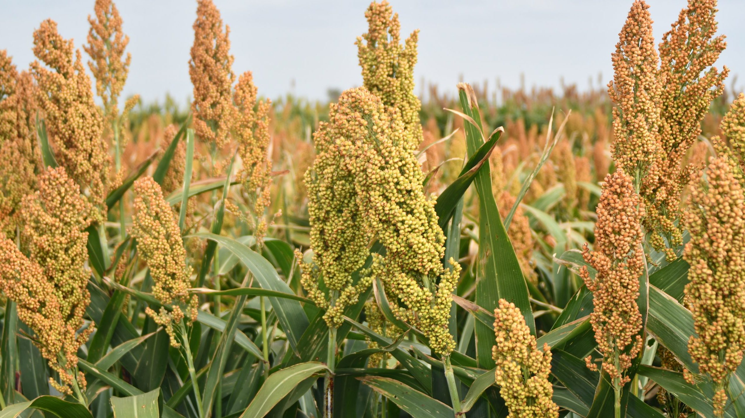 Southeastern United States Sorghum Production